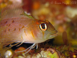 Yaldwyn's Triplefin (Notoclinops yaldwyni)&lt;&gt;&lt;&gt;&lt;&gt;Canon G9,... by Brian Mayes 
